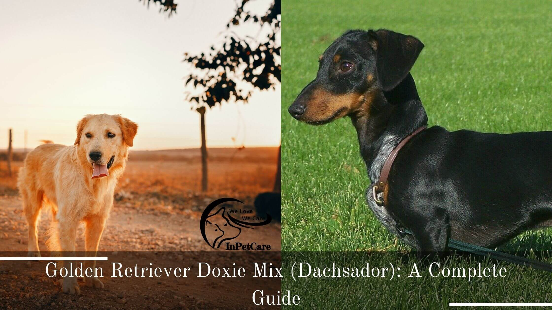 Golden Retriever Doxie Mix (Dachsador): A Complete Guide