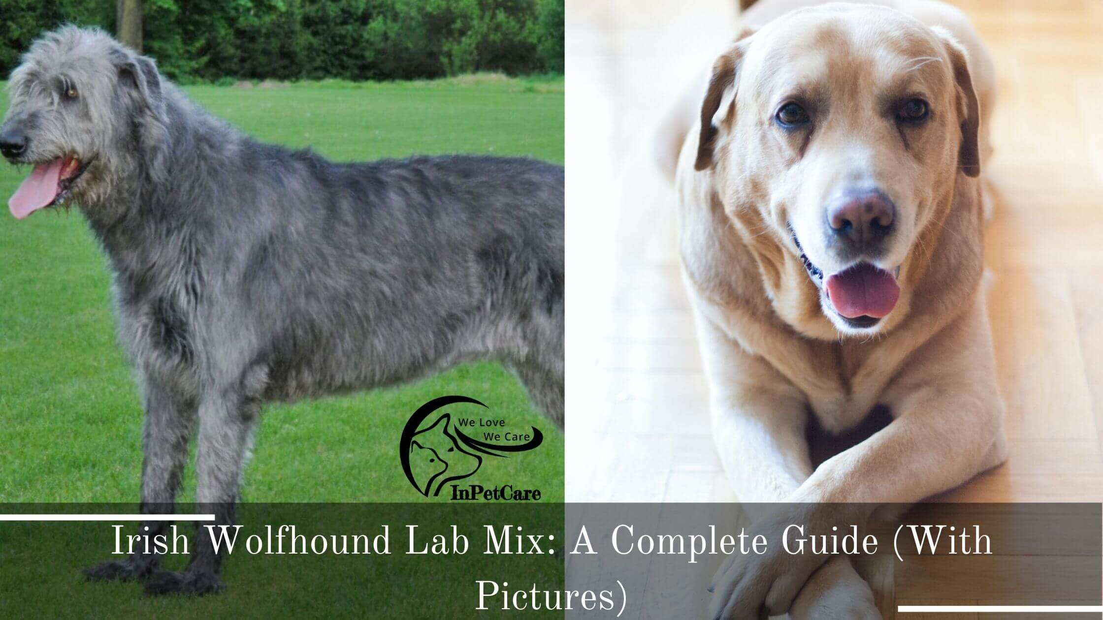 Irish Wolfhound Lab Mix: A Complete Guide (With Pictures)