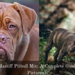 French Mastiff Pitbull Mix: A Complete Guide (With Pictures)