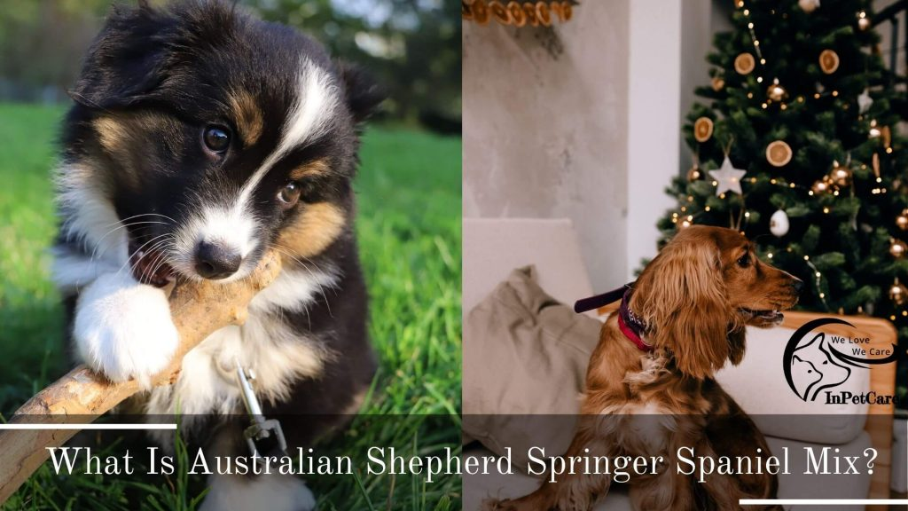 Australian Shepherd Springer Spaniel Mix: A Complete Guide (With Pictures)