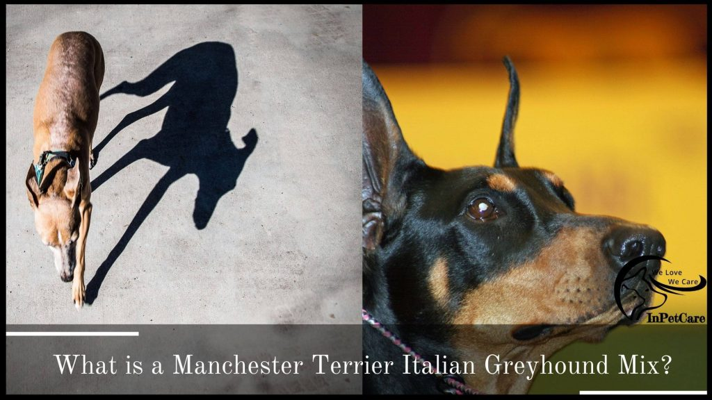 What Is A Manchester Terrier Italian Greyhound Mix?