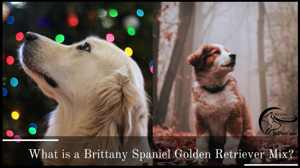 What Is Brittany Spaniel Golden Retriever Mix?
