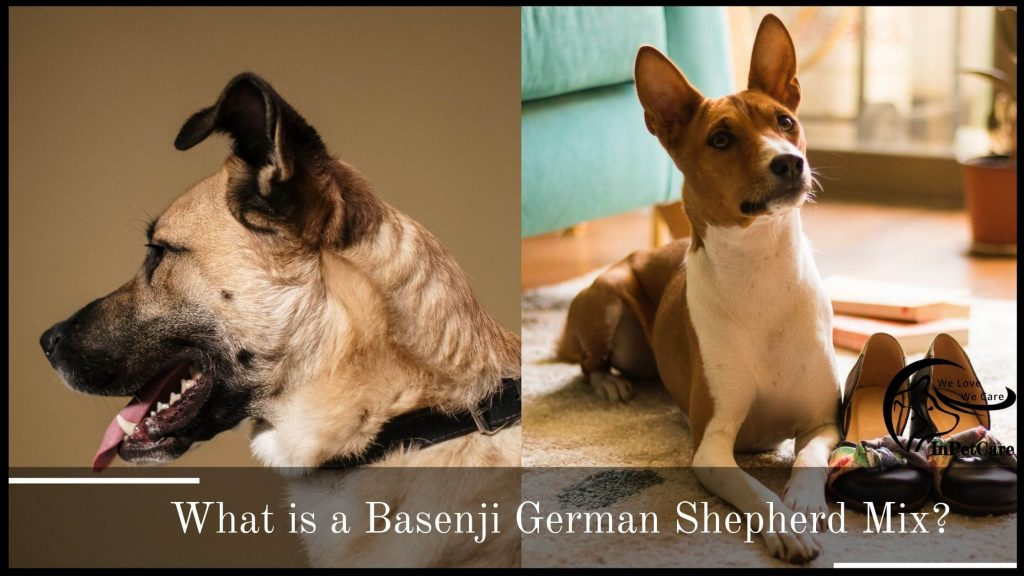 What is a Basenji German Shepherd Mix?