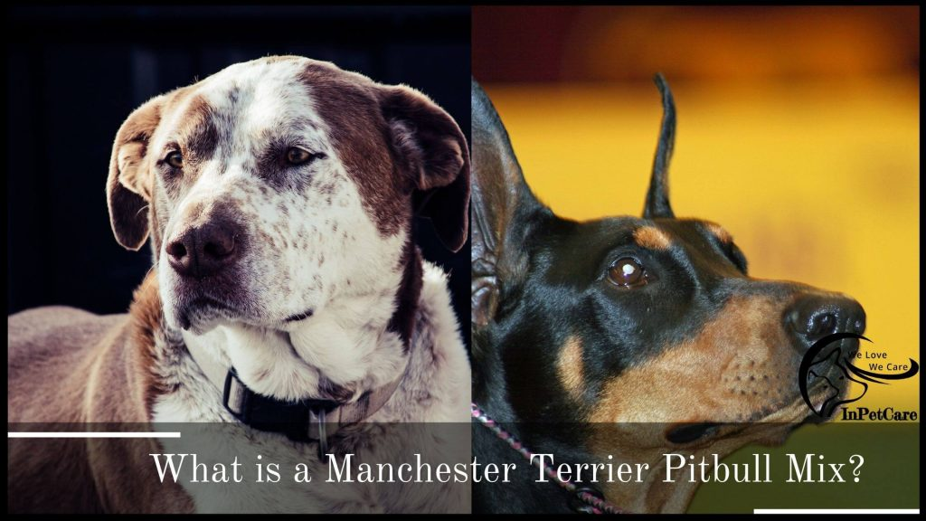 What Is A Manchester Terrier Pitbull Mix?