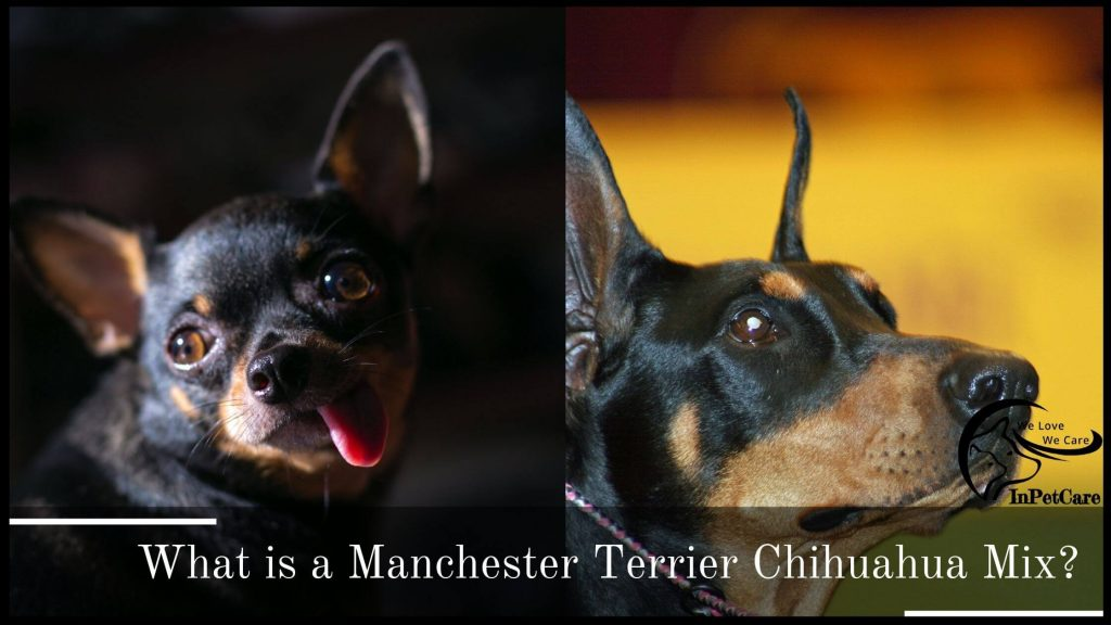 What Is A Chihuahua Manchester Terrier Mix?