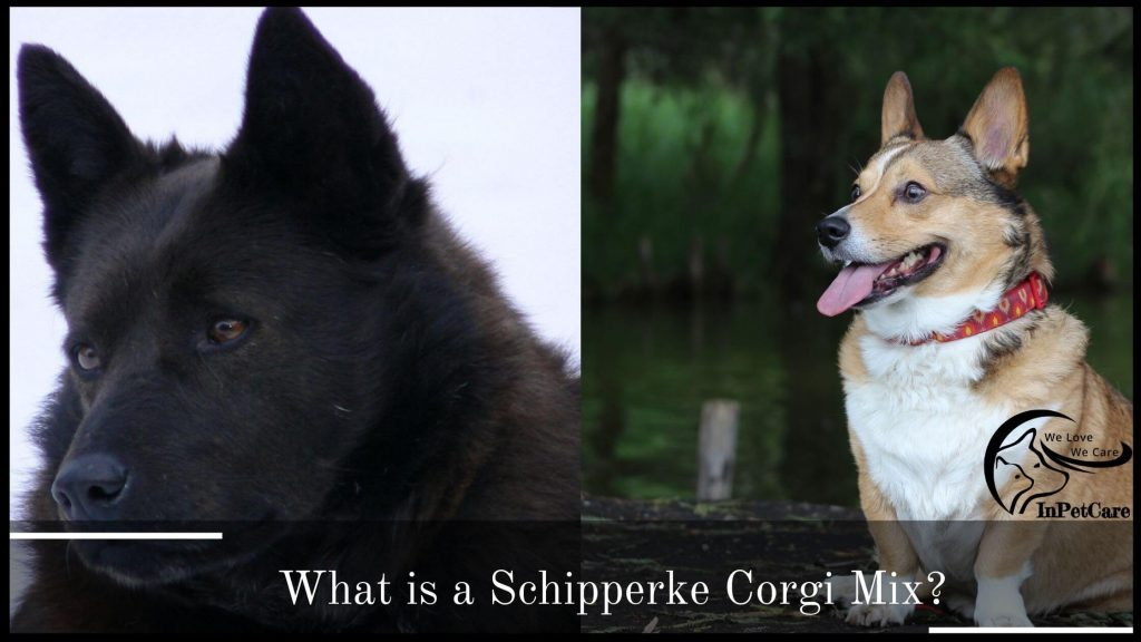 What Is A Schipperke Corgi Mix?