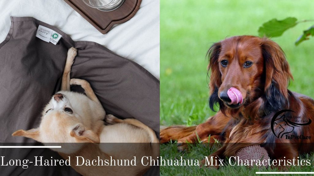 Long-Haired Dachshund Chihuahua Mix: A Complete Guide (With Pictures)