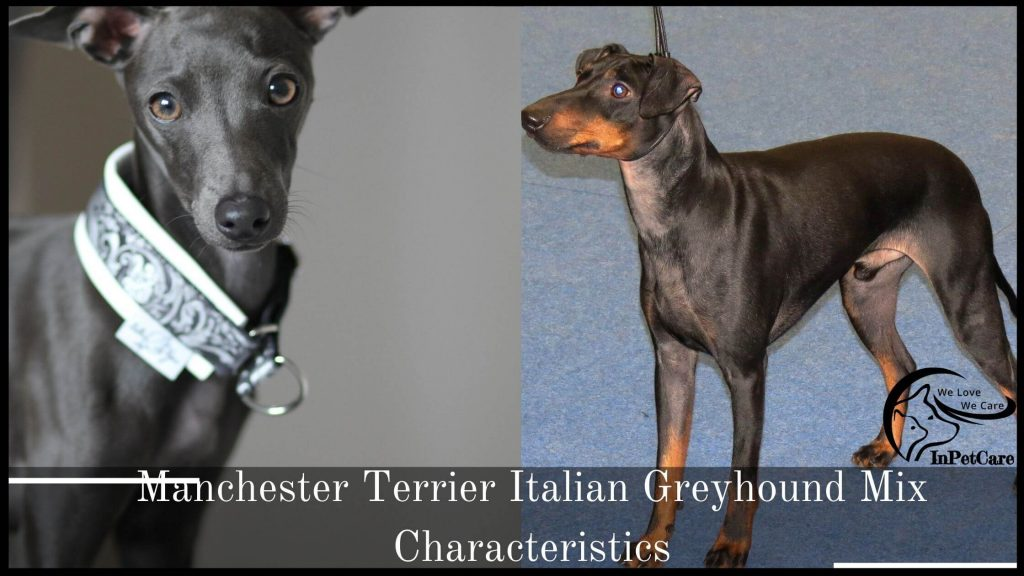 Manchester Terrier Italian Greyhound Mix Characteristics