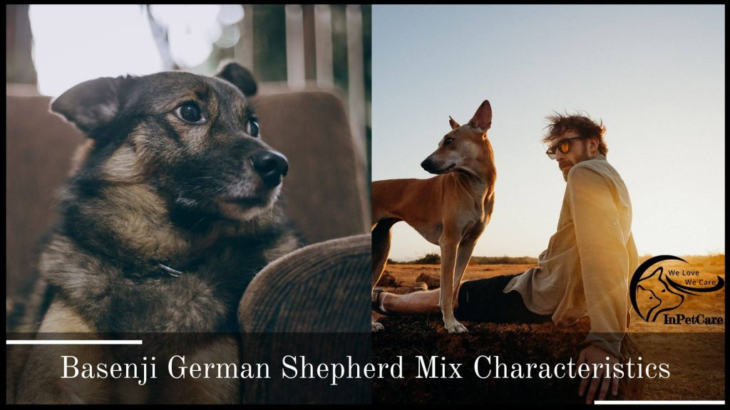 Basenji German Shepherd Mix Characteristics