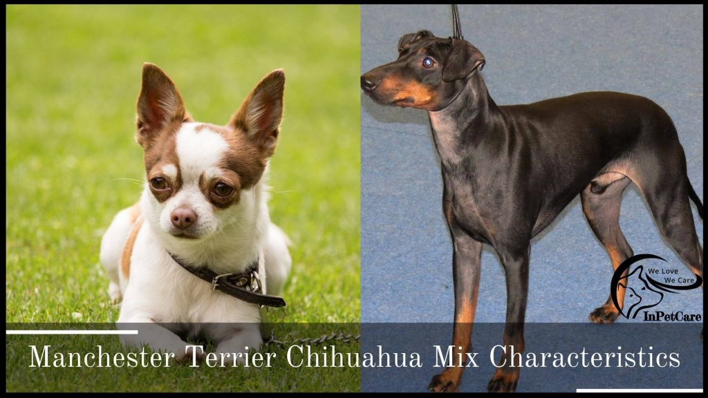 Chihuahua Manchester Terrier Mix Characteristics