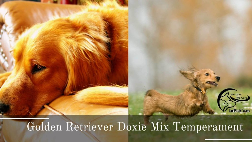 Golden Retriever Doxie Mix (Dachsador) Picture, Golden Retriever Dachschund Mix Picture, Doxie Golden Retriever Mix (Dachsador) Picture, Dachschund Golden Retriever Mix Picture, Dachsador Picture