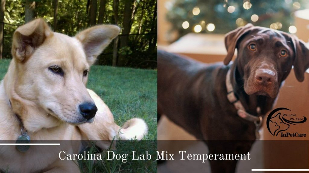 Carolina Dog Lab Mix Picture  Lab Carolina Dog Mix Picture  Carolina Dog Labrador Mix Picture  Labrador Carolina Dog Mix Picture