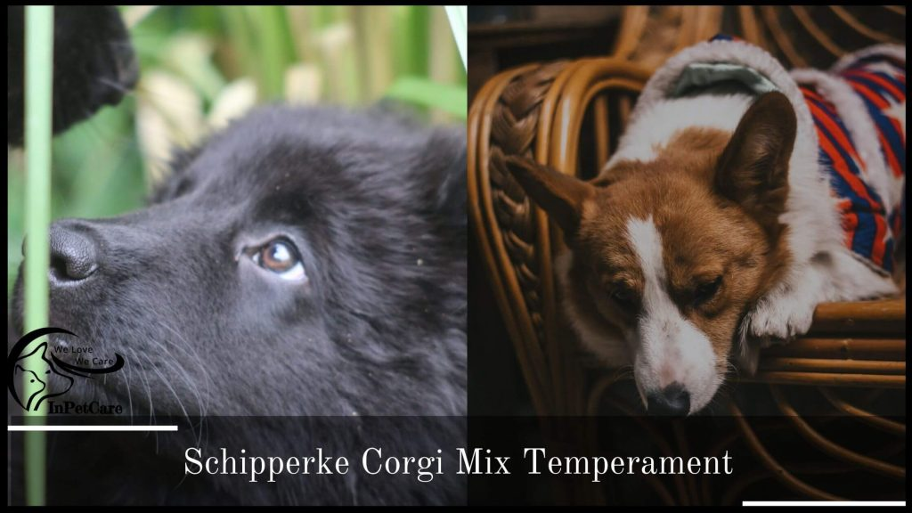Schipperke Corgi Mix Temperament