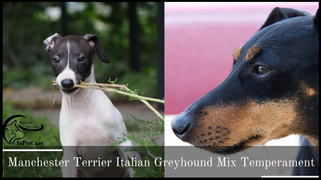 Manchester Terrier Italian Greyhound Mix Temperament