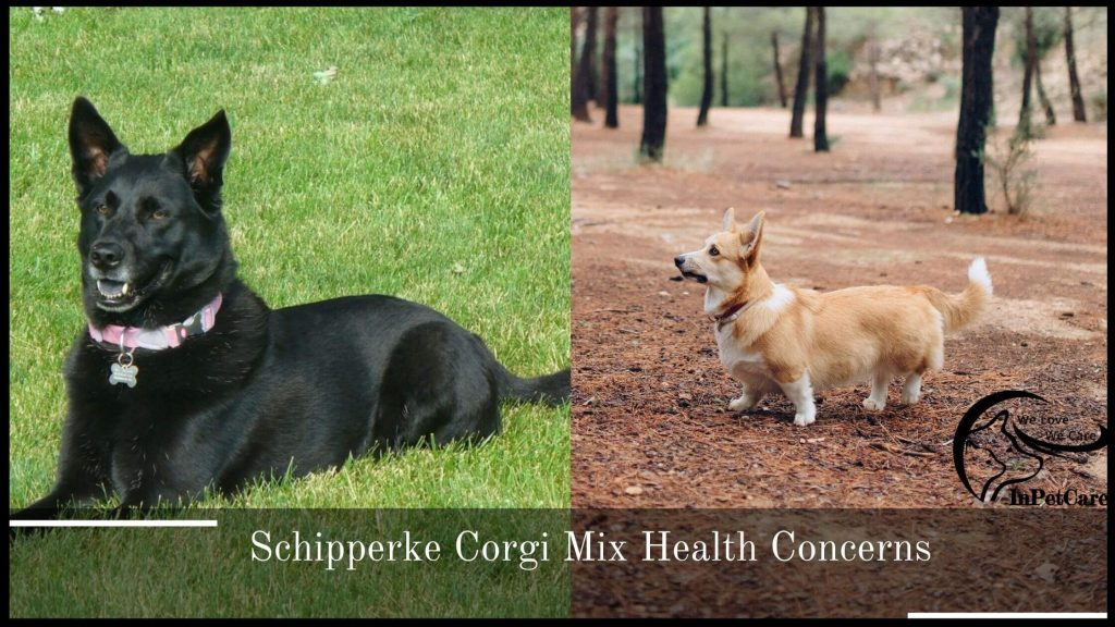 Schipperke Corgi Mix Health Issues