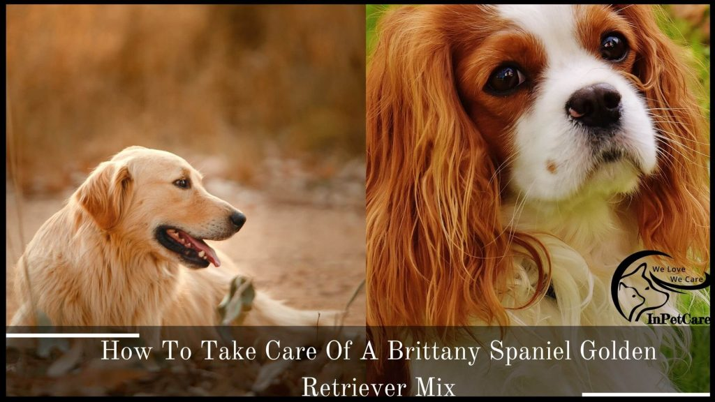 How To Take Care Of A Brittany Spaniel Golden Retriever Mix