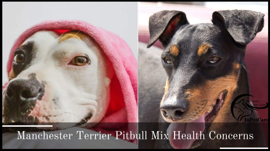 Manchester Terrier Pitbull Mix Health Concerns