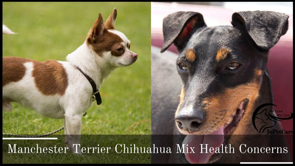 Chihuahua Manchester Terrier Mix Health Issues