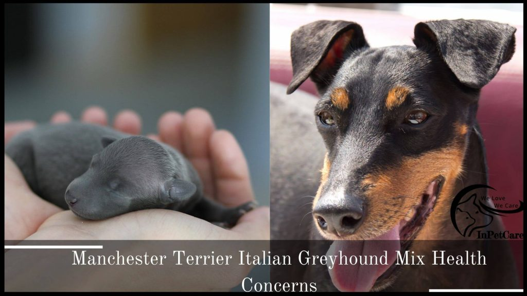 Manchester Terrier Italian Greyhound Mix Health Issues