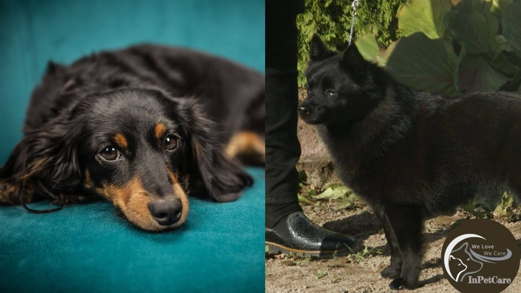 Schipperke Dachshund Mix: A Complete Guide (With Picture)