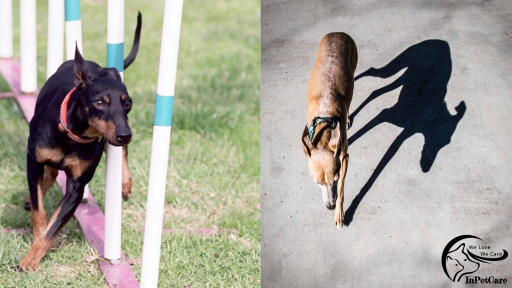 Italian Greyhound Manchester Terrier Mix Pictures, Manchester Terrier Italian Greyhound Mix Pictures