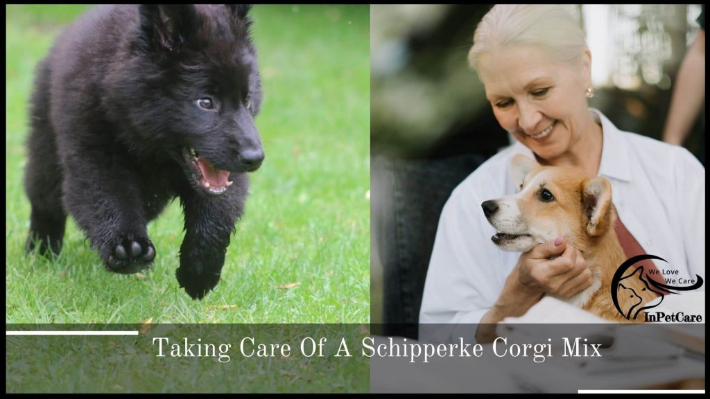 Taking Care Of A Schipperke Corgi Mix