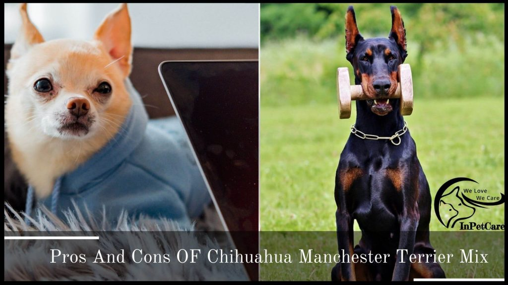 PROS AND CONS OF Chihuahua Manchester Terrier Mix