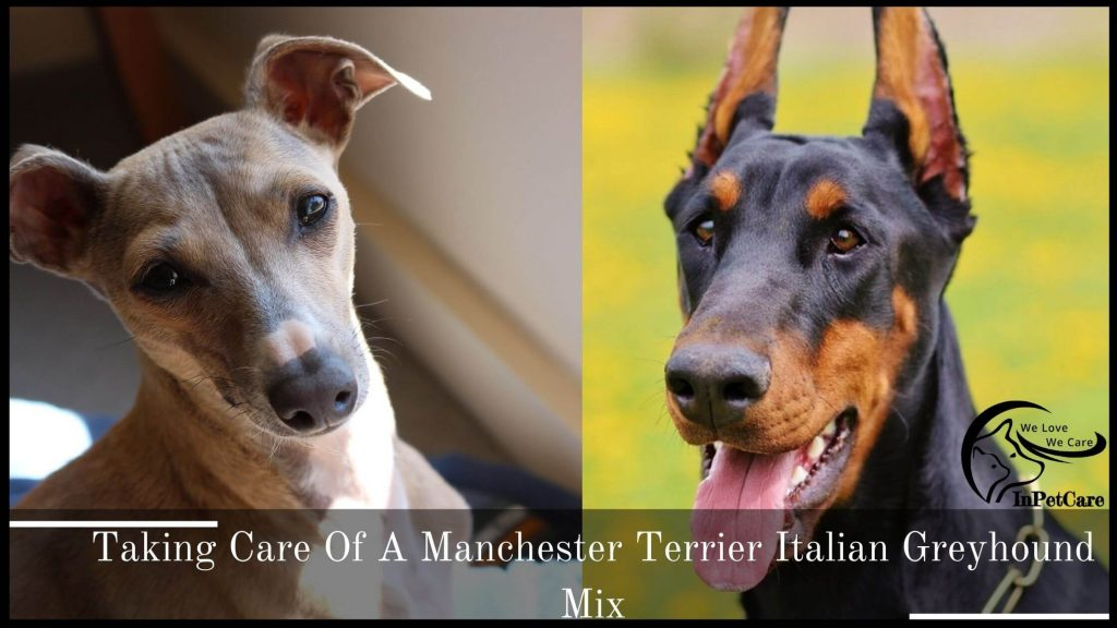 Taking Care Of A Manchester Terrier Italian Greyhound Mix
