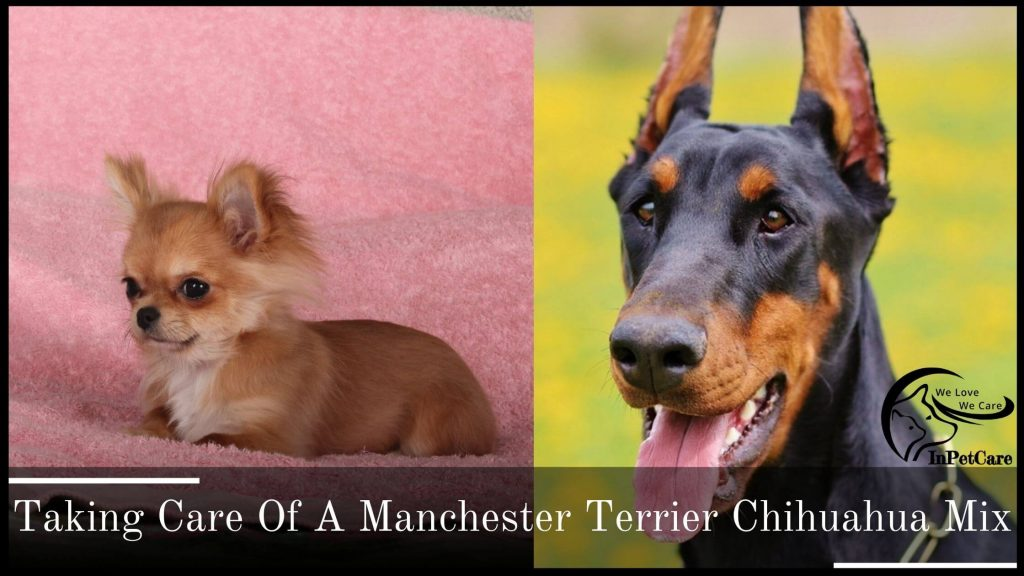 Taking Care Of A Chihuahua Manchester Terrier Mix