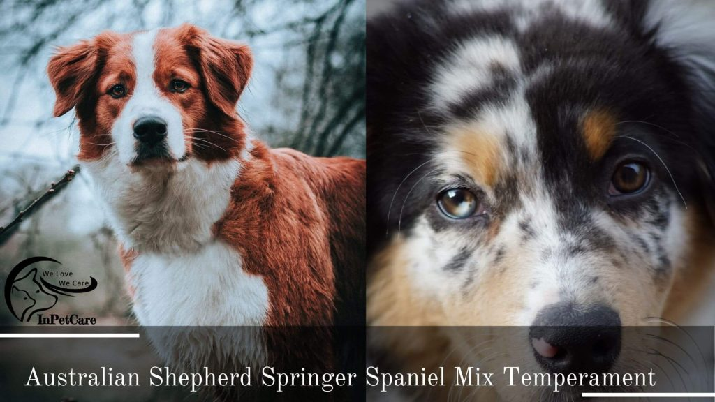 Springer Spaniel Australian Shepherd Mix: A Complete Guide (With Pictures)