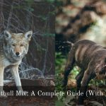 Coyote Pitbull Mix: A Complete Guide (With Pictures)