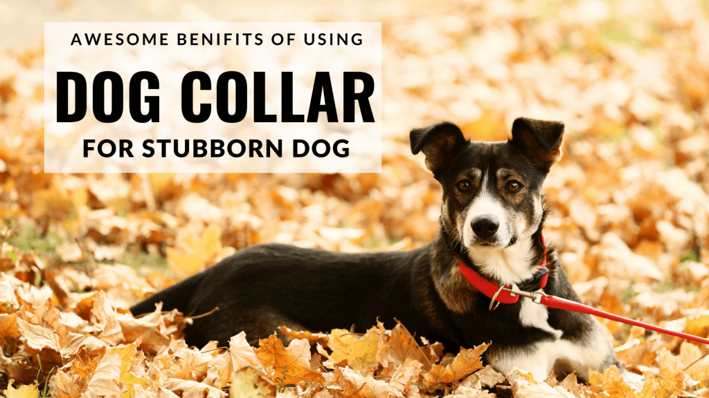 4 Benefits Of Using Training Collars For Your Stubborn Dog