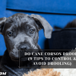 Do Cane Corsos Drool? (9 Tips To Control & Avoid Drooling)