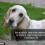 Do Basset Hounds Drool? 11 Tips & Treatments To Control It