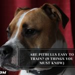 Are Pitbulls Easy To Train? (9 Things You Must Know)