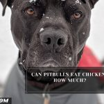 Can Pitbulls Eat Chicken? How Much?