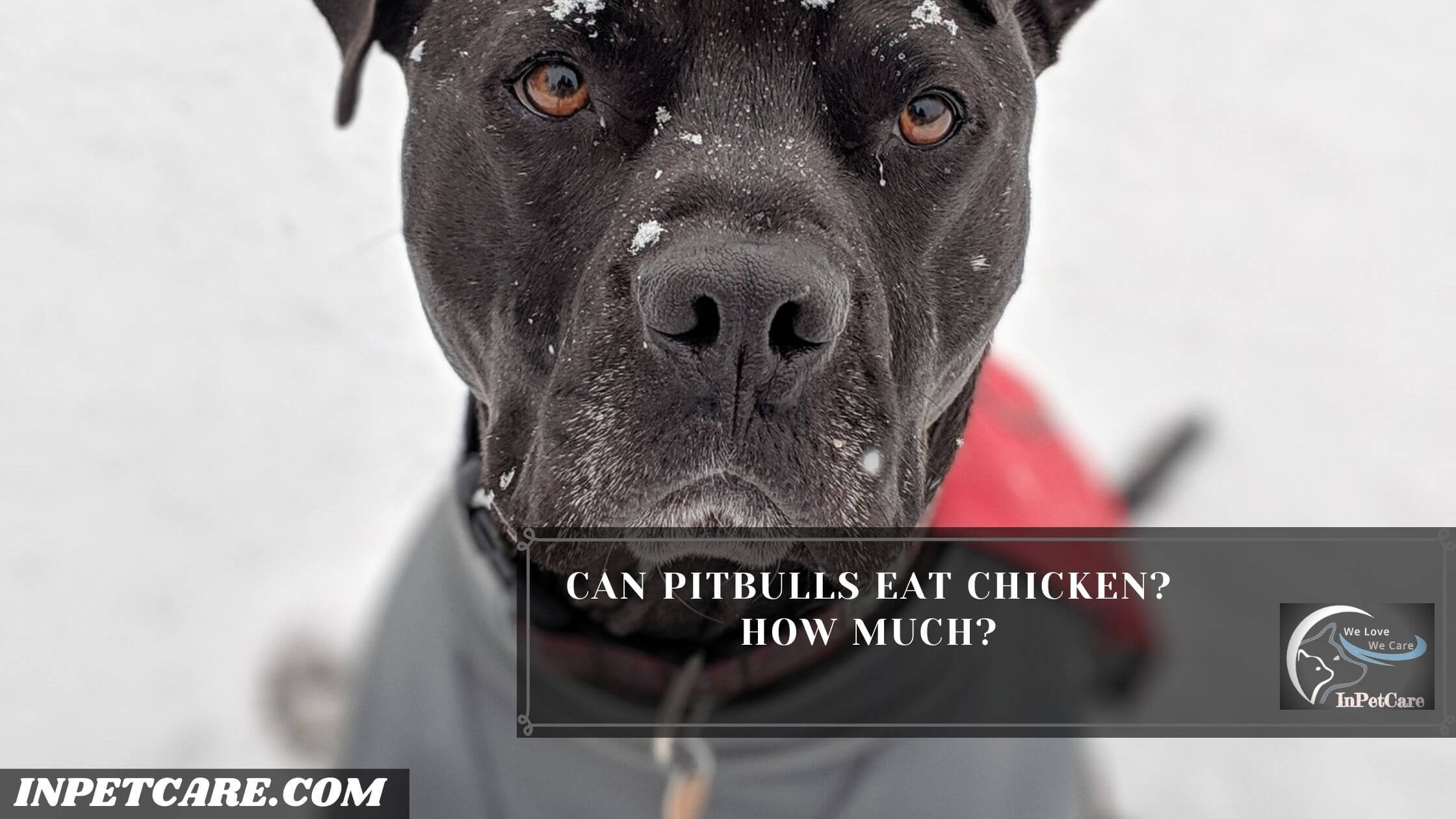 Can Pitbulls Eat Chicken? Can Pitbulls Eat raw Chicken?