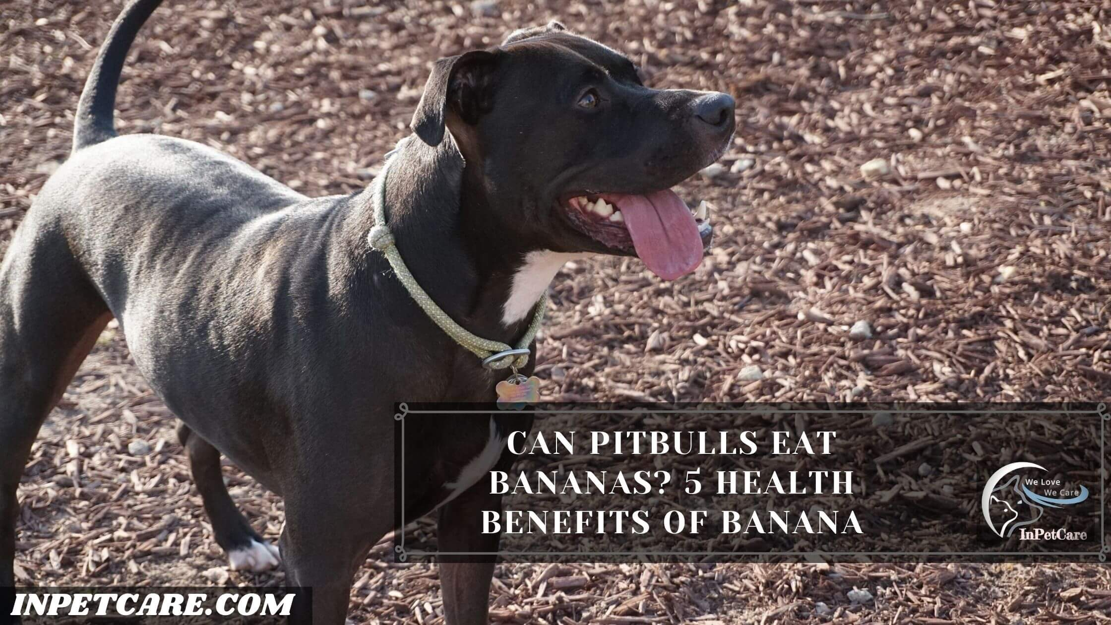 Can Pitbulls Eat Bananas, Can Pitbulls Eat Bananas peels, Can Pitbulls Eat Bananas chips