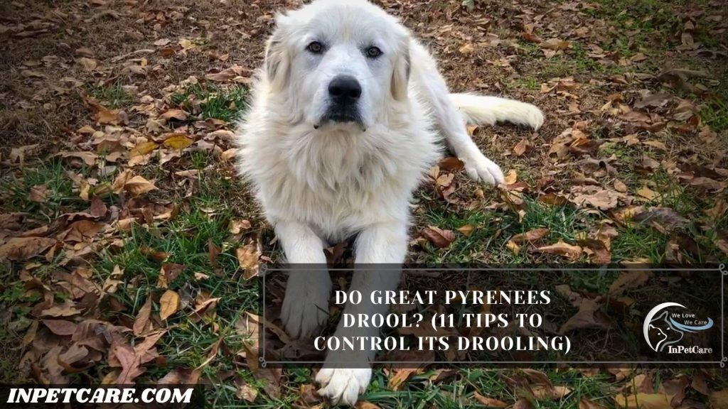 Do Great Pyrenees Drool?