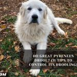Do Great Pyrenees Drool? (11 Tips To Control Its Drooling)