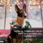 Do Bull Terriers Shed? (9 Tips To Control Its Shedding)