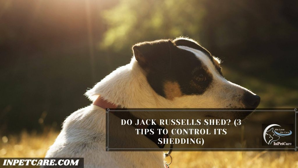 Do Jack Russells Shed?