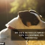Do Jack Russells Shed? (3 Tips To Control Its Shedding)