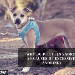 Why Do Pitbulls Snore? (9 Causes of Excessive Snoring)