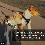 Do Pitbulls Like Water? (Pitbull Swimming Tips With Picture)