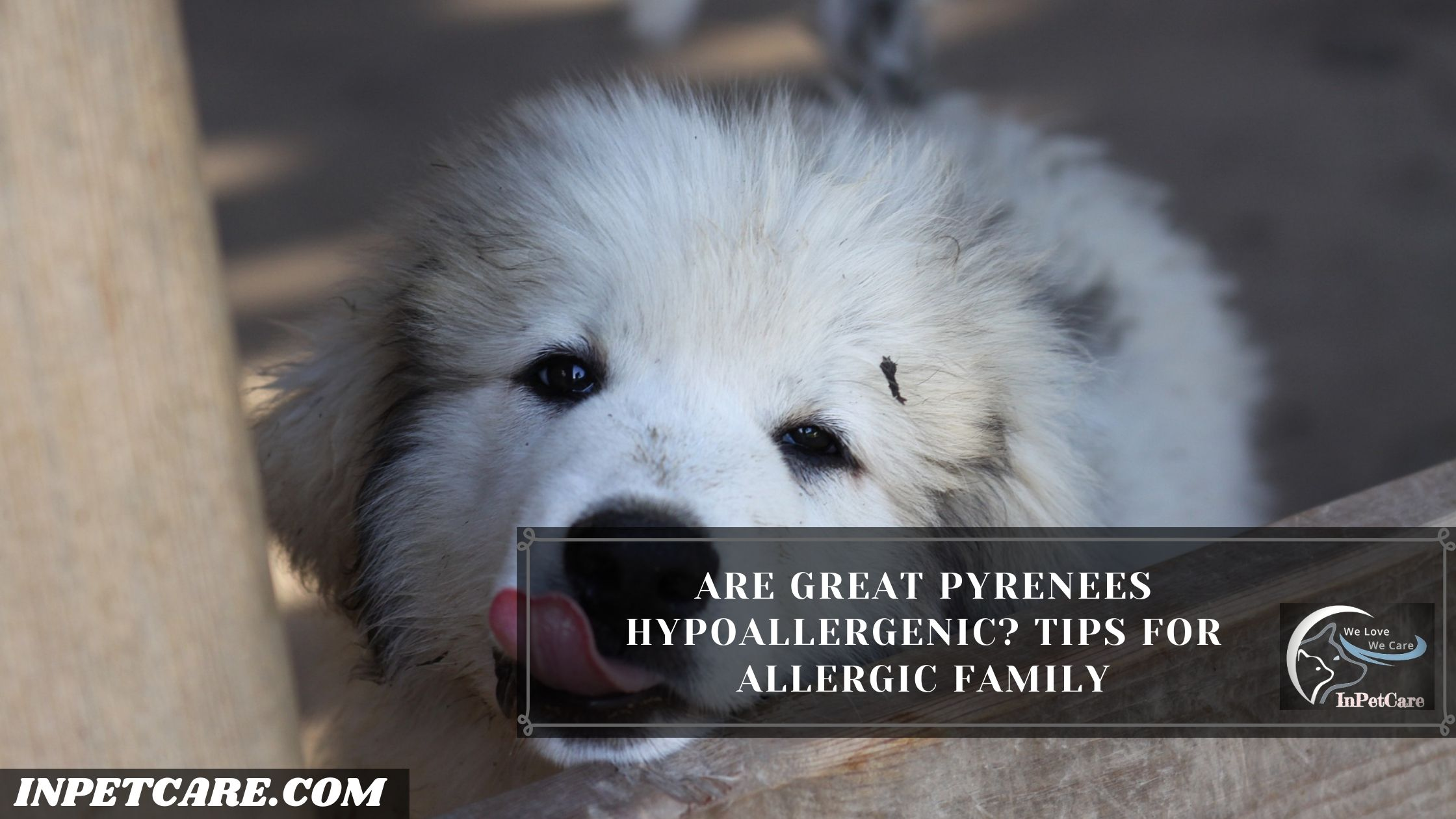 Are Great Pyrenees Hypoallergenic?