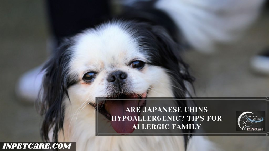 Are Japanese Chins Hypoallergenic?