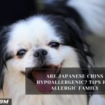 Are Japanese Chins Hypoallergenic? Tips For Allergic Family