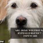Are Irish Wolfhounds Hypoallergenic? - InPetCare