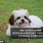 Are Lhasa Apsos Hypoallergenic? Tips For Allergic Families